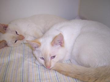 2 white cats snuggle up with each other as they wait to be adopted.